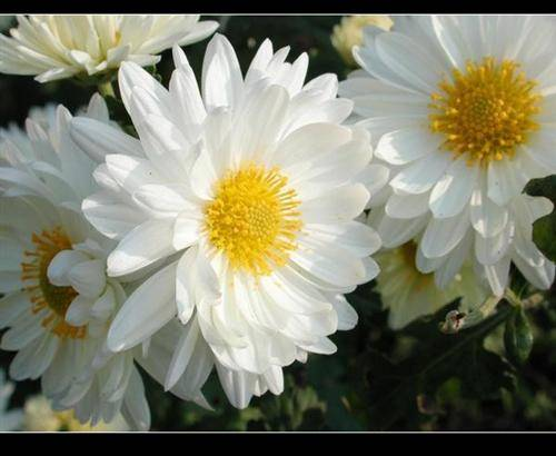 Hangzhou White Crysanthemum