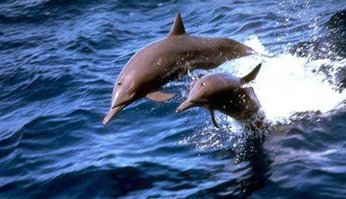 White Dolphins