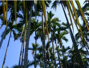 Dongjiao Coconut Plantation