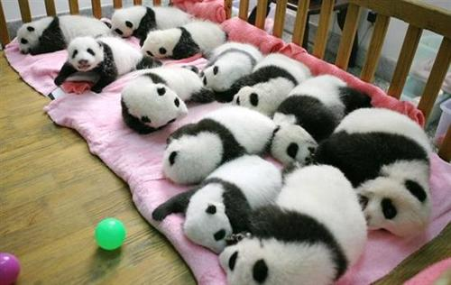 pandas in Giant Panda Breeding and Research Center