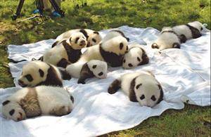 Newborn Pandas making their debuts during China National Day