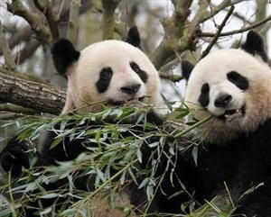 Two Giant Pandas from China Made Debut in France
