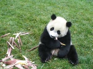 Where The Word Panda Comes From