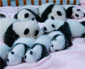 14 Newborn Giant Pandas on Display at Chengdu Giant Panda Breeding and Research Base