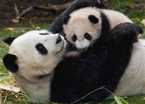 Places to See Giant Pandas in China