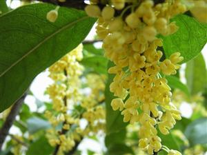 Osmanthus trees add charm to Guilin