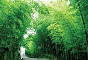 Shunan Bamboo Sea (The green bamboo sea in Southern Sichuan Province)