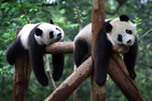 See the Giant Pandas in the Sichuan Province