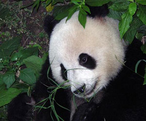 Pandas on Exhibit for Shanghai Expo
