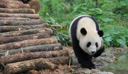 6 Meet the pandas in Chengdu