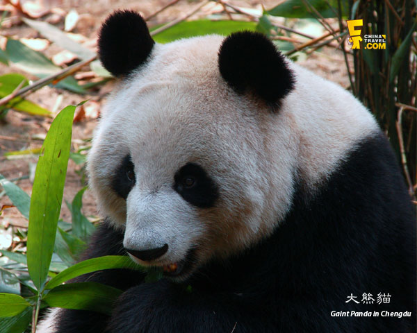 Giant Panda in Chengdu